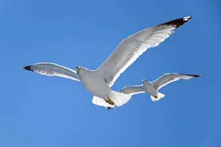 seagull in flight Stock Photo - 3258496