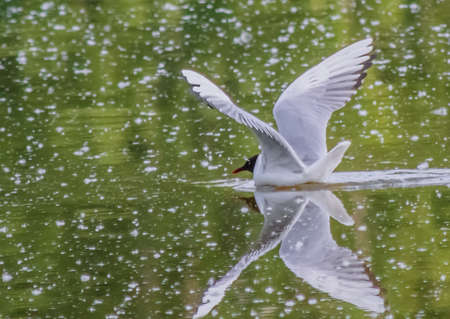 Floating in the water a Seagull spreads his wings Banco de Imagens