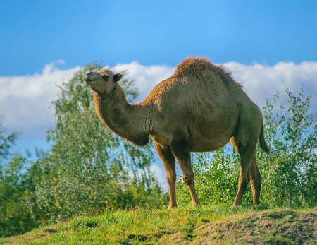One-humped camel in a forest glade