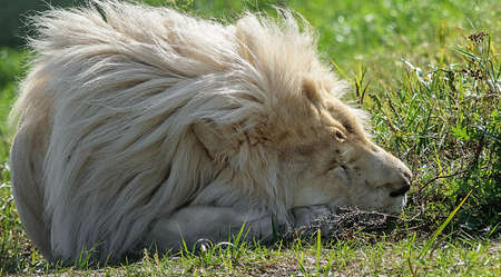 Lion sleeping on the ground 免版税图像