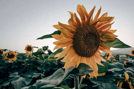 Landscapes of sunflower fields blooming in spring and summer time. 版權商用圖片