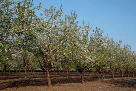 Il mandorlo fiorisce in primavera tra febbraio e marzo. Mandorle per l'industria alimentare. Mandorle e marzapane.