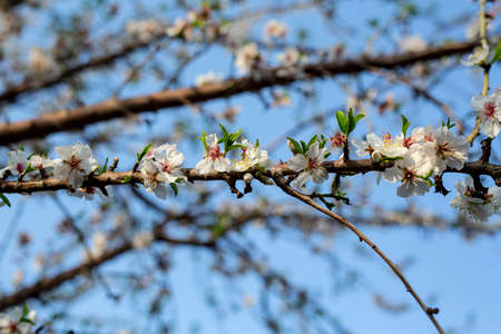 Almond tree blossom in spring time of February and march. Almonds for food industry. Almonds and marzipan.