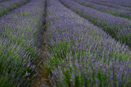 Lavender flowers blossom in summer fields in Europe.