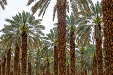 Beautiful high palm tree in desert environment in summer time.