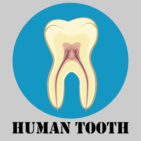 dentin: Human tooth emblem, sign or symbol of dental clinic, flat design logo, tooth cross-sectional, vector