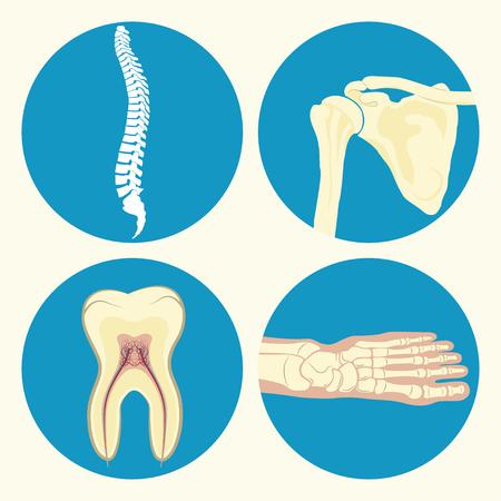 Ensemble de l'icône médicale, icône de la colonne vertébrale humaine, signe de dent humaine, articulation de la cheville humaine, articulation de l'épaule humaine, emblème ou signe de centre de diagnostic médical ou à la clinique, design plat, vecteur Banque d'images - 57623461