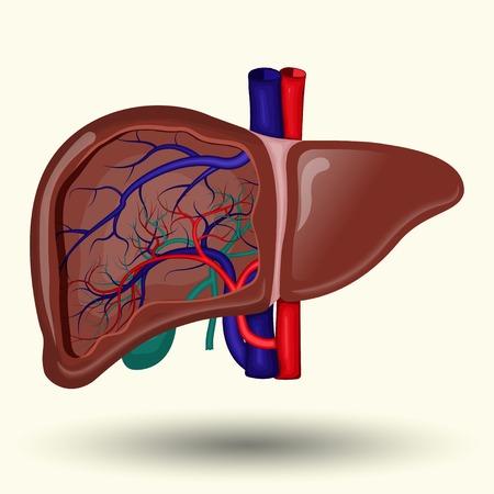 Human liver cartoon style, isolated on white background Illustration