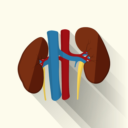 dialysis: Human kidneys isolated on white background, creative flat design, isolated on white background, with long shadow Illustration