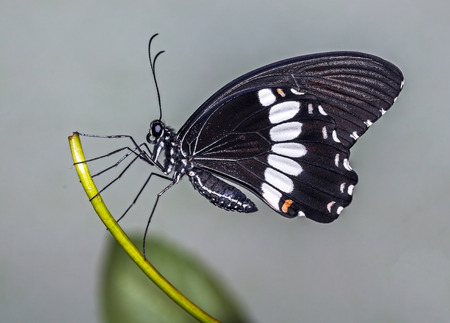 The common Mormon butterfly (Papilio polytes)