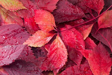 The fallen red autumn leaves moistened with a rain Standard-Bild