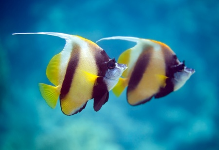 reefscape: Two beautiful tropical fish swimming at sea