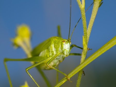 Large green grasshopper perched on a grass