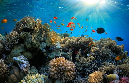 red coral colony: beautiful coral reef and many fish Stock Photo