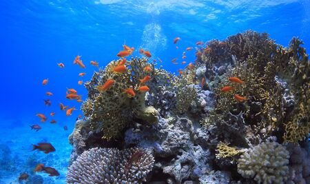 beautiful red color fish between corals on the reef close to sea surface Standard-Bild