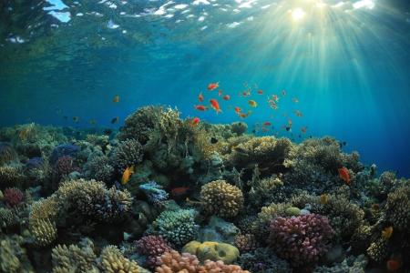 corallo rosso: bella barriera corallina e pesci mach