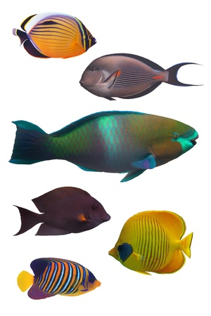 royal angelfish: set of Red sea coral fish