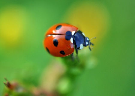 coccinellidae: insect, Coccinellidae