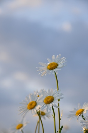 Chamomile flowers against the evening sky photo