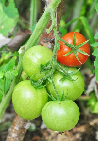 matures: green tomatoes growing in the garden