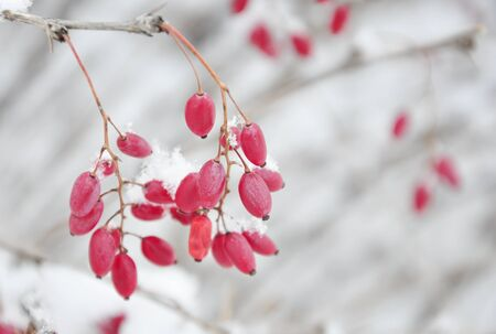 red barberry growing in nature in winter photo