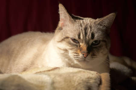 drowse: light grey cat basking under the lamp, drowse