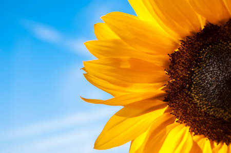 bright yellow sunflower closeup on the background of blue sky photo
