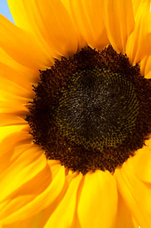 closeup: closeup of bright colorful flower sunflower in the sun Stock Photo