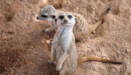 a pair of African meerkats on the desert looking around Stock Photo
