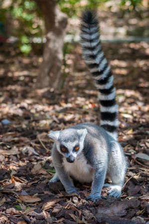 white tail: portrait of a grey lemur with a black and white tail in the Park