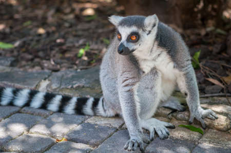 portrait of a grey lemur with a black and white tail in the Park