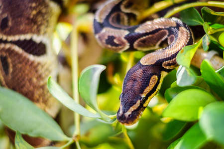 not a huge Python regius hiding in the branches of a tree Stock Photo
