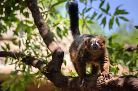 portrait of a rubriventer lemur on branch of three in the Park Stock Photo