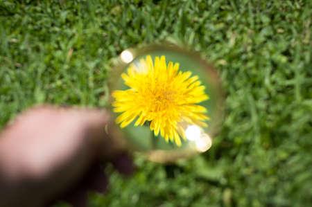 dandelion through a magnifying glass