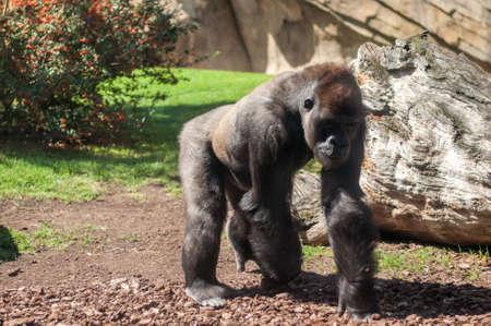 African mountain gorilla on a walk