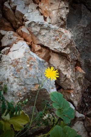 a single yellow dandelion flower broke through the rocks Banco de Imagens - 131643874