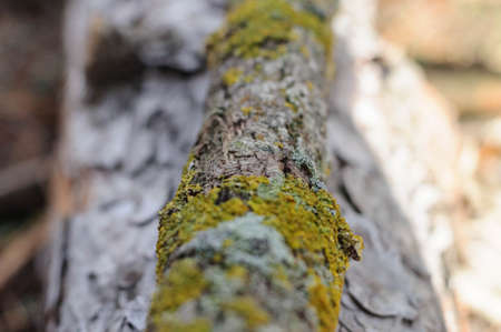 part of a tree branch covered with moss in the autumn forest