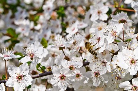 Spring. Flowering fruit tree. Bee pollinating flowers photo