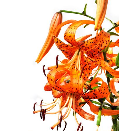 Bouquet of orange lilies. Isolated on white background photo