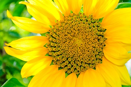 Blooming small sunflower. Isolated on white background photo