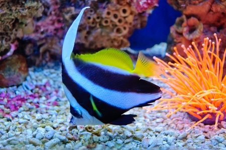 Marine tropical fish. Colorful exotic little fish photo