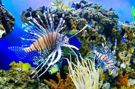 peces de acuario: Peces tropicales marinos. Pez exótico colorido