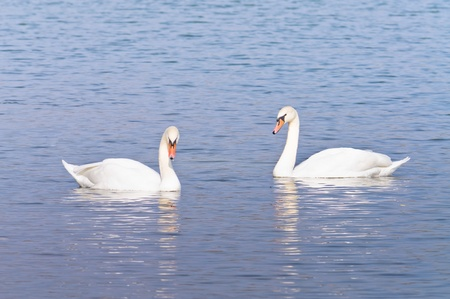 Swans on the lake. Autumn lake photo