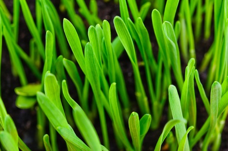 Germinated plants  Close-up Photos Stock Photo - 12929148