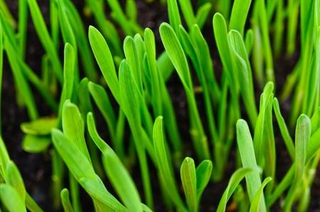 Germinated plants  Close-up Photos Stock Photo - 12929148