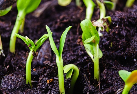 Germinated plants  Close-up Photos Stock Photo - 12929133