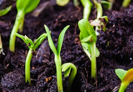 germinaci�n: Plantas germinadas fotograf�as en primer plano