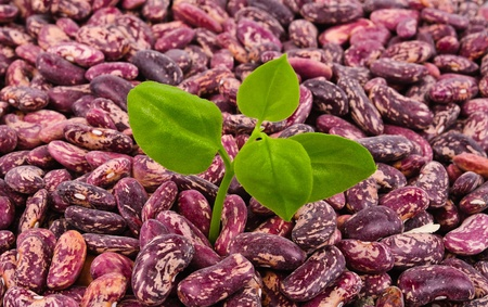 adzuki bean: Dry beans for cooking. Photo Close-up Stock Photo