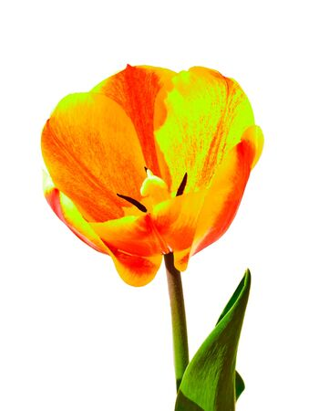 Flower of a tulip  The photo on white background Stock Photo - 13359141