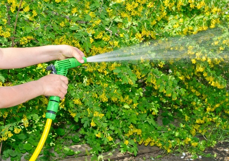 Watering the garden with a hose with a spray photo